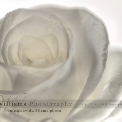 Photo, Photography, Image, Print, Canvas, Metal, Flower, Flowers, Rose, White