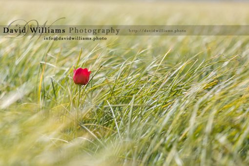 Photo, Photography, Image, Print, Canvas, Metal, Flower, Red Tulip