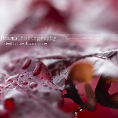 Photo, Photography, Image, Print, Canvas, Metal, Leaf, Red Leaf, Water Droplet