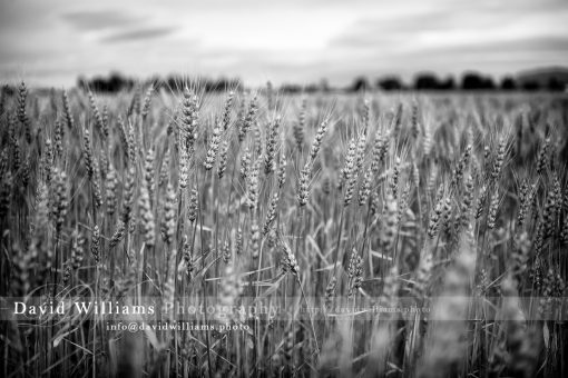 Photo, Photography, Image, Print, Canvas, Metal, Black and White, B&W, Field, Wheat