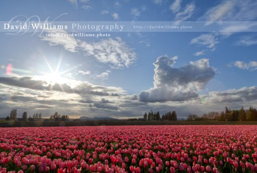 Photo, Photography, Image, Print, Canvas, Metal, Flower, Red Tulips, Tulip Fields