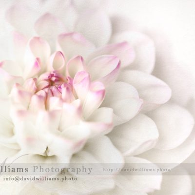 Photo, Photography, Image, Print, Canvas, Metal, Flower,Dahlia, White