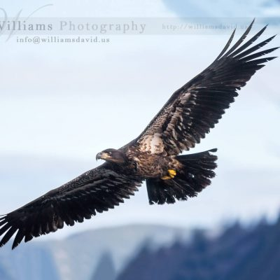 A spectacular image of a juvenile eagle captured in flight!