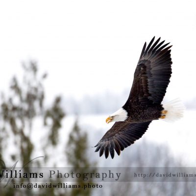 A bald eagle soaring through the air.