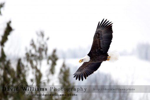 A bald eagle soaring through the air.