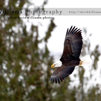 An eagle flying through the air.