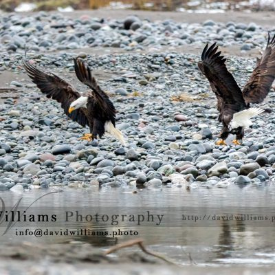 Two Bald Eagles getting ready to land.