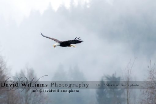 A Bald Eagle crying out loud while soaring through the air.