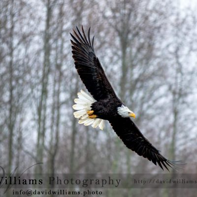 A Bald Eagle gliding through the air.