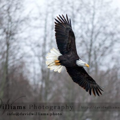 Similar to the other eagle gliding shot, the background changed slightly.