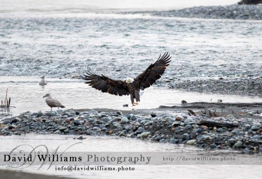 A Bald Eagle landing on a river bed.