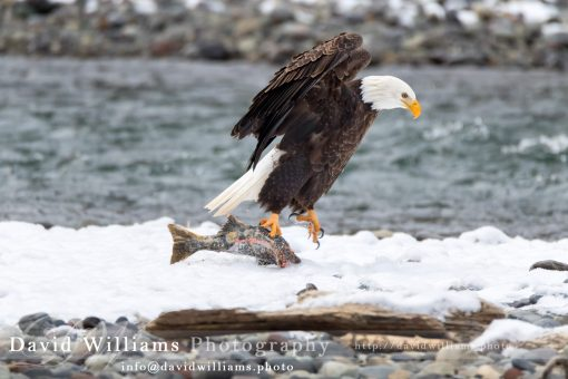 A Bald Eagle jumping while holding a fish.