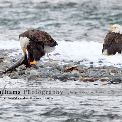 One eagle watching another having breakfast!