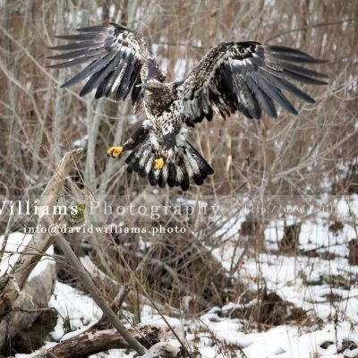 A juvenile eagle coming in for a landing.