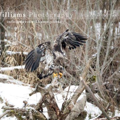 A juvenile eagle perching.