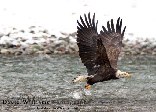 A bald eagle in flight.